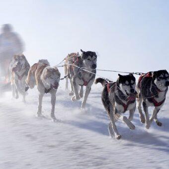Проверка Севером: прошлое и настоящее гонок на собачьих упряжках